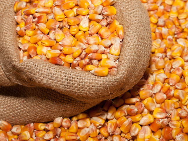 приманки для ловли карпа частицы (кукуруза)